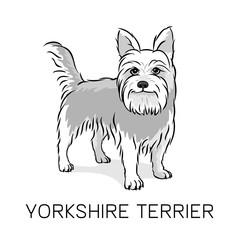 Yorkshire Terrier dog vector illustration