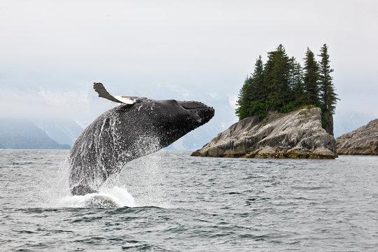 Alaska. Humpback whale breaching jumping.