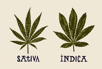 sativa and indica marijuana leaves vintage drawing.