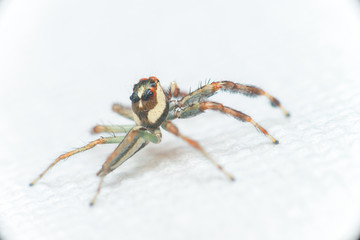 Male Two-striped Jumping Spider (Telamonia dimidiata, Salticidae) resting and crawling on a white tissue
