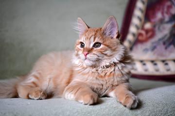 Домашний рыжий котенок лежит на диване