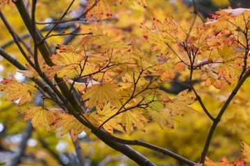 Autumn colorful maple leaves