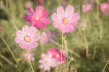 Vintage Cosmos flowers.