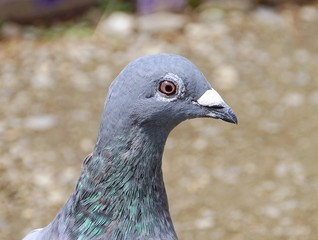 Pigeon closeup in the park