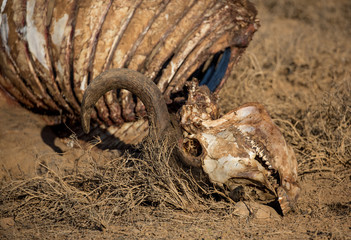 Skeleton of Wild African Buffalo