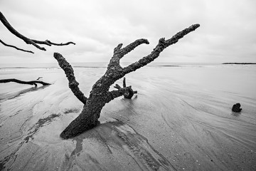 Driftwood and washed out trees at the beach on Hunting Island St