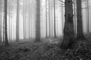 Forest of Spruce Trees in Autumn, Fog and Rain, Black and White