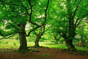 Gnarled Old Beech Trees with Moss Covered Roots in Wild Natural Forest