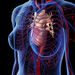 Female Heart and Chest Circulatory System in X-ray View