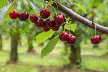 isolated red cherries on tree in cherry orchard