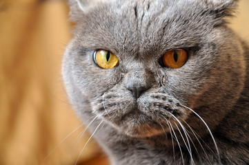 Portrait of British Shorthair blue cat with yellow eyes. Resentful look.