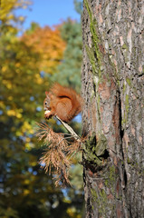 Red squirrel sitting on a pine branch and eating a nut. Autumn park in the background.
