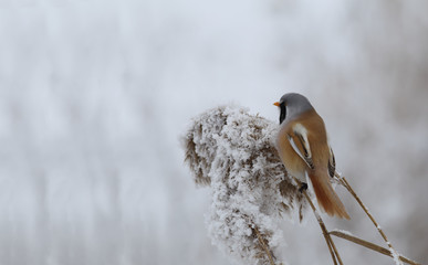 Male Bearded tit on the panicle reed