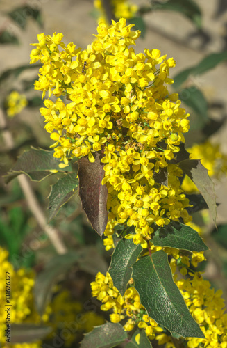 Yellow Flower Mahonia Holly On The Background Of Green Leaves
