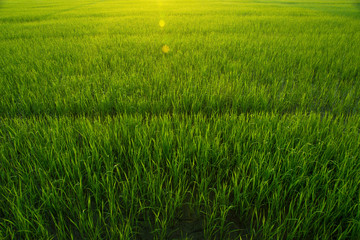 Rice Field in Morning with Natural Golden Sunbeam and Droplet on leaf, Soft Focus and Depth of field