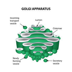 The structure of the Golgi apparatus. Infographics. Vector illustration on isolated background