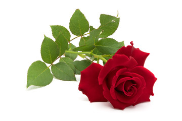 Beautiful red rose with leaves