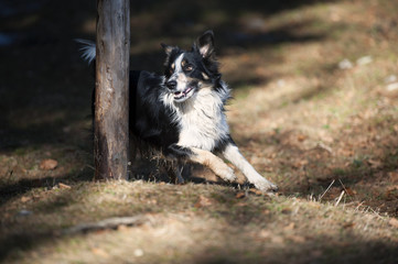 Border Collie goes round the pole