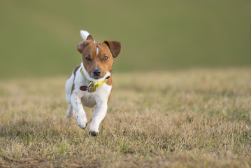dog running across the meadow - Jack Russell Terrier