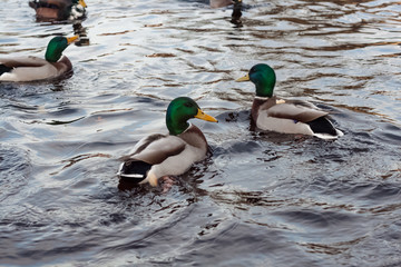 Green and gray ducks swimming in the lake