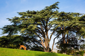 old cedar tree in the Park Buttes-Chaumont