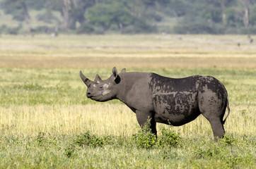 rhinocéros noir , Diceros bicornis , Cratère du Ngorongoro , Parc national , Tanzanie