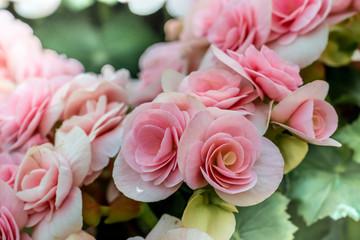Beautiful Pink begonia