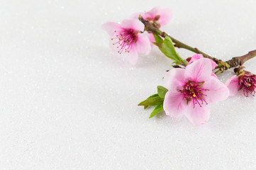 Two cherry blossom flowers on white