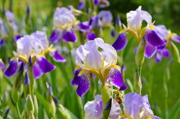 Schwertlilien im Frühlingsgarten - iris flowers in garden
