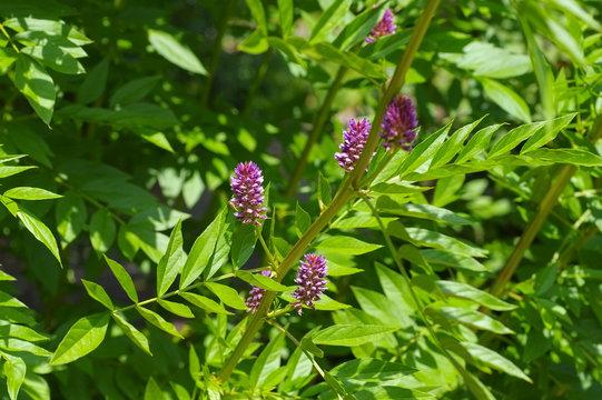 die Heilpflanze Süßholz - the herbal plant  Liquorice or Glycyrrhiza glabra