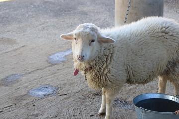 哀愁の漂う羊