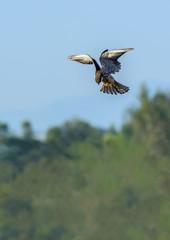 Amur Falcon(Falco amurensis), beautiful bird flying with blue sky.