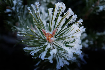 Pine Needles with Snow and Snowflakes Frozen on Them