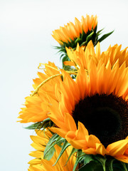 Bouquet of sunflowers on white