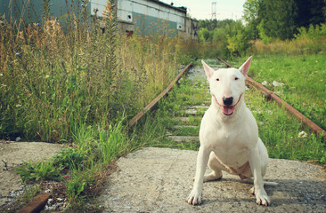 English bull Terrier walks outdoors in the summer