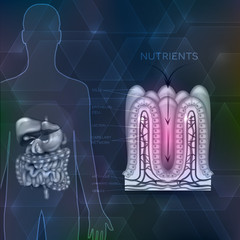 Intestinal lining anatomy, absorption of nutrients, human silhouette with digestive organs.