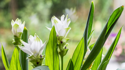 White blooming Curcuma