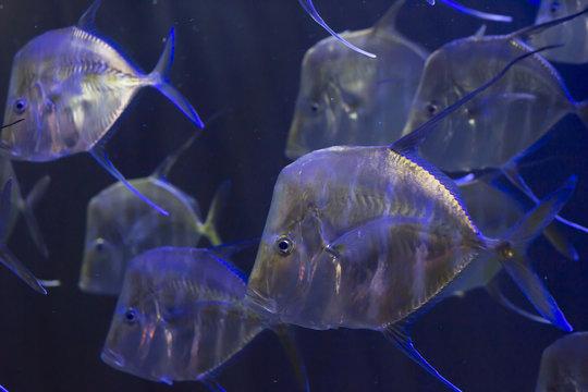 School of Lookdown Fish