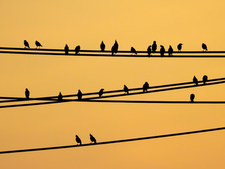 Mynas birds sitting on wires and sunset sky