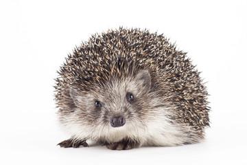 hedgehog isolated