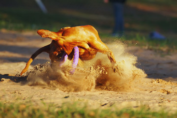 Active Hungarian Vizsla dog running outdoors and catching a puller ring toy