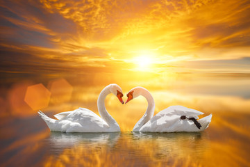 beautiful White swan in heart shape on lake sunset .Love bird concept