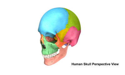 Human Skull_Perspective view