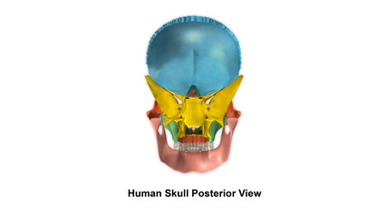 Human Skull_Posterior view