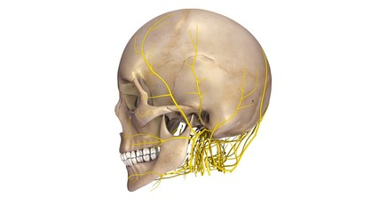 Skull with Nerves lateral view