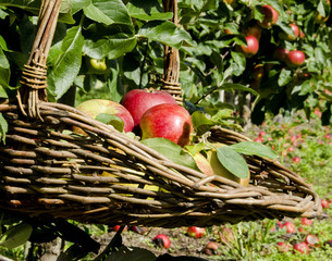 Apples gathered in a basket in the Apple orchard