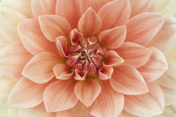 Light red Dahlia flower macro