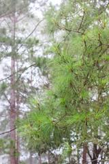 Pine in rain