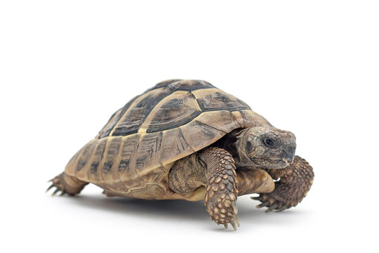 Isolated image of a turtle