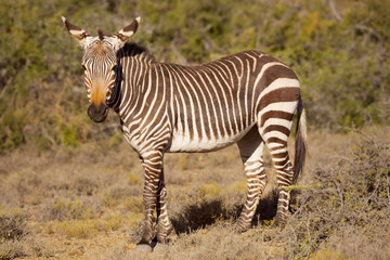 Cape mountain zebra in Karoo National Park, South Africa